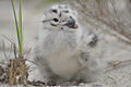 Great black-backed gull chick (6316352441).jpg