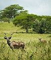Greater kudu (Nechisar National Park, Ethiopia).jpg
