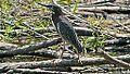 Green Heron (8430122667).jpg