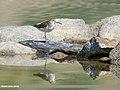 Green Sandpiper (Tringa ochropus) (43817868212).jpg