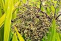 Green berries in Malaysia (26425500922).jpg