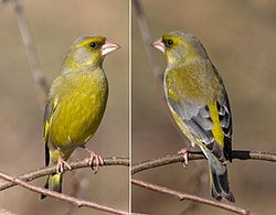 Greenfinch.jpg