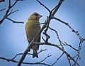 Greenfinch (50224698291).jpg