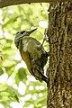 Grey-headed woodpecker SRI 49.jpg
