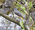 Grey Wagtail (3434047271).jpg