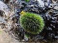Grimmia pulvinata 104151642.jpg
