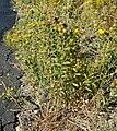Grindelia squarrosa var serrulata 1.jpg