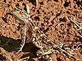 Ground Agama (Agama aculeata) (50220926538).jpg