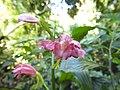Ground Orchid Phaius mishmensis DSCN1342 01.jpg