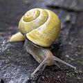 Grove snail, Lodz(Poland)02(js).jpg