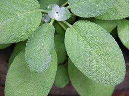 Growing leaves of garden sage (Salvia officinalis)