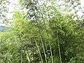 Guadua-Bambus-Colombia.jpg