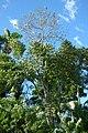 Gualanday (Jacaranda caucana) - Flickr - Alejandro Bayer.jpg