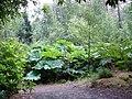 Gunnera in Inverewe Gardens - geograph.org.uk - 28516.jpg