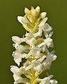 Gymnadenia odoratissima albiflora - Niitvälja2.jpg