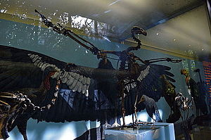 California condor - Fossil of the extinct species Gymnogyps amplus from the La Brea Tar Pits