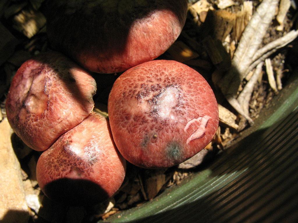 Gymnopilus luteofolius wikipedia -
