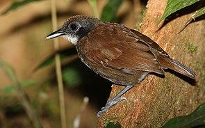 Braunweißer Ameisenvogel (Gymnopithys leucaspis)
