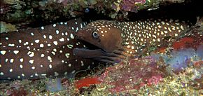 Description de l'image Gymnothorax_prionodon_(Australian_mottled_moray).jpg.