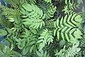 HK 上環 Sheung Wan 永利街休憩花園 Wing Lee Street Rest Garden plant 羽狀複葉 green compound leaves October 2017 IX1 01.jpg