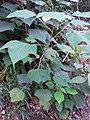 HK hiking 香港 VP 維多利亞山頂 Victoria Peak 舊山頂道 Old Peak Road flora green leaves April 2020 SSG 35.jpg