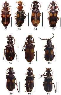<i>Macrocheilus</i> Genus of beetles