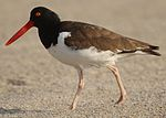Haematopus palliatus -Atlantic coast, New Jersey, USA-8 (6).jpg
