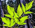 Haida Gwaii (Queen Charlotte Islands) - Graham Island - nice trail up and around the Spirit Lakes recreation area - stinging Nettle (Urtica dioica) - (21372083040).jpg