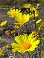 Hairy desert sunflower (Geraea canescens); Pinto Basin - 12526180234.jpg
