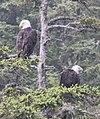 Haliaeetus leucocephalus (Bald Eagle) 05.jpg