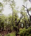 Hard beech forest.jpg