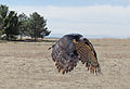 Harpia harpyja -falconry -flying-8a.jpg