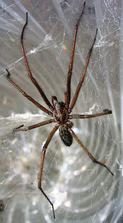 Giant house spider species of arachnid