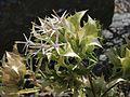 Hecastocleis shockleyi flowering heads.jpg