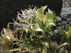Hecastocleis shockleyi flowering heads.jpg