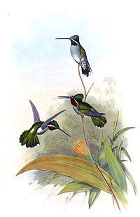 Heliomaster longirostris - Gould