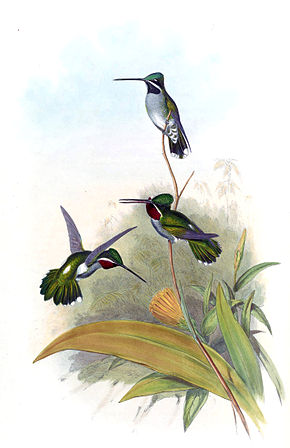 Description de l'image Heliomaster longirostris - Gould.jpg.
