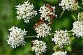 Heracleum sphondylium Cantharidae.jpg