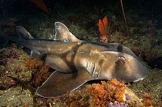 Port Jackson shark - Image: Heterodontus portusjacksoni wilsons promontory
