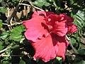 Hibiscus King David.jpg