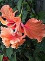Hibiscus Orange El Capitolio (3).jpg