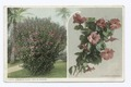 Hibiscus Plant and Bloosoms, Florida (NYPL b12647398-73877).tiff