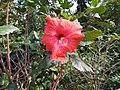 Hibiscus rosa sinensis hybrid-18-hanuman temple-muluvi-yercaud-salem-India.jpg