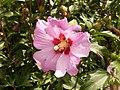 Hibiscus syriacus, Fryšták (1).jpg