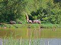 Hippos (Hippopotamus amphibius) (6045913168).jpg