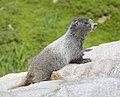 Hoary Marmot, Mt. Rainier 04.jpg