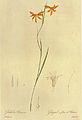 Homoglossum watsonium in Les liliacees.jpg