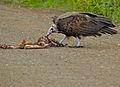Hooded Vulture (Necrosyrtes monachus) (13646157073).jpg