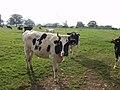 Horned black and white cattle - geograph.org.uk - 593395.jpg
