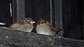 House Sparrows (4352443136).jpg